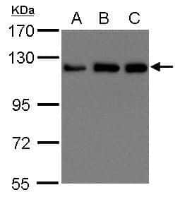 Kinesin 5B Antibody in Western Blot (WB)