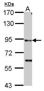 IKK beta Antibody in Western Blot (WB)