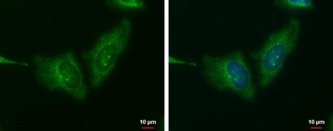 WNT11 Antibody in Immunofluorescence (IF)