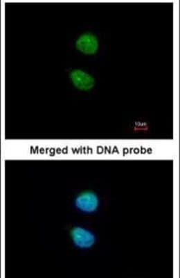 ZNF306 Antibody in Immunofluorescence (IF)