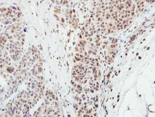 MPP3 Antibody in Immunohistochemistry (Paraffin) (IHC (P))