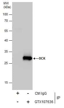DCK Antibody in Immunoprecipitation (IP)