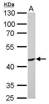 PI3K p55 gamma Antibody in Western Blot (WB)