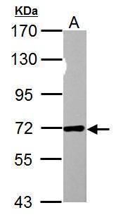 NUP62 Antibody in Western Blot (WB)