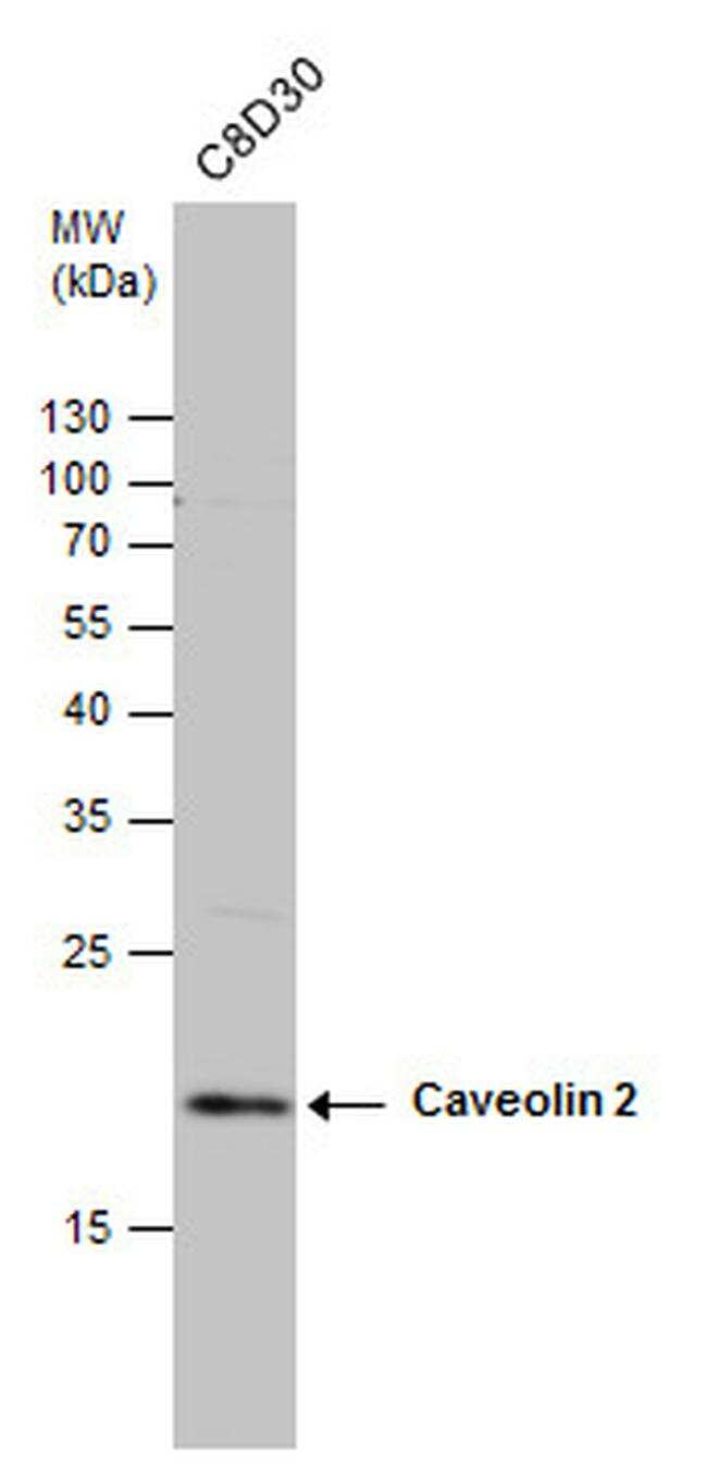 Caveolin 2 Antibody in Western Blot (WB)