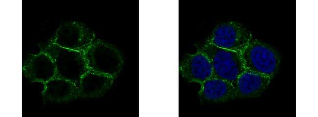 Caveolin 2 Antibody in Immunofluorescence (IF)
