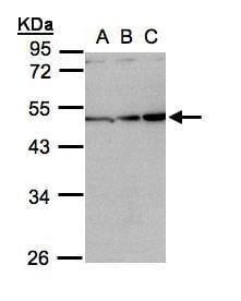 Activin A Antibody in Western Blot (WB)