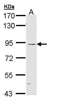 NOD1 Antibody in Western Blot (WB)