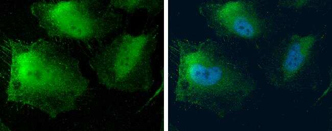 MTAP Antibody in Immunofluorescence (IF)