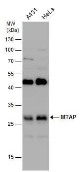 MTAP Antibody in Western Blot (WB)