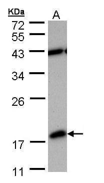 PDE6D Antibody in Western Blot (WB)