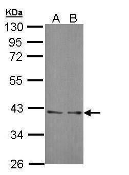 UFD1L Antibody in Western Blot (WB)
