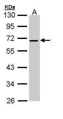 SERPINF2 Antibody in Western Blot (WB)