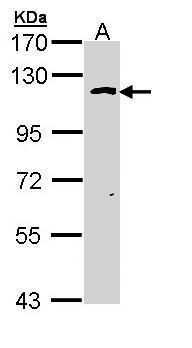 OGT Antibody in Western Blot (WB)