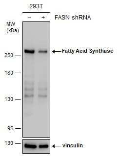 FASN Antibody in Knockdown