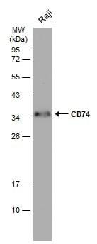 CD74 Antibody in Western Blot (WB)
