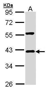 IkB alpha Antibody in Western Blot (WB)