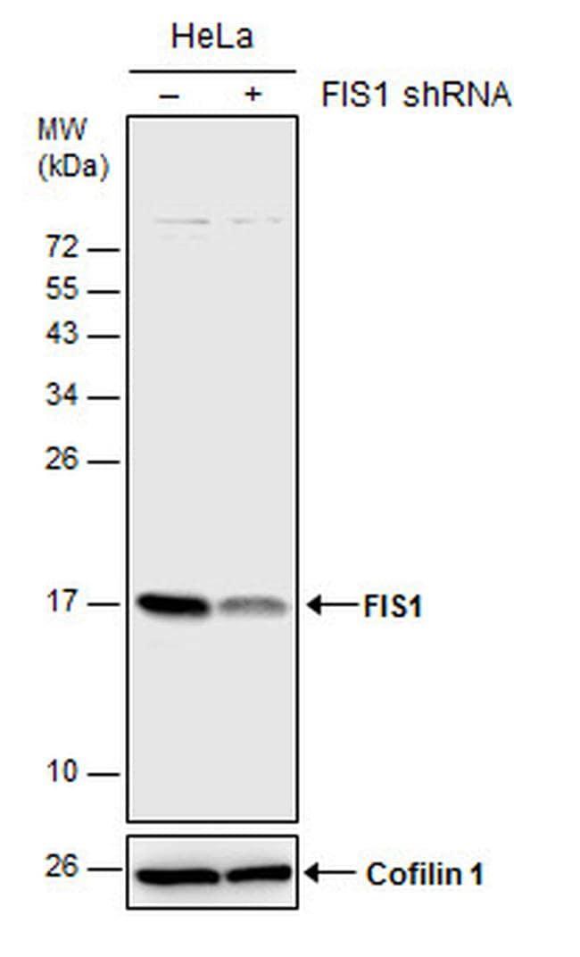 FIS1 Antibody in Knockdown