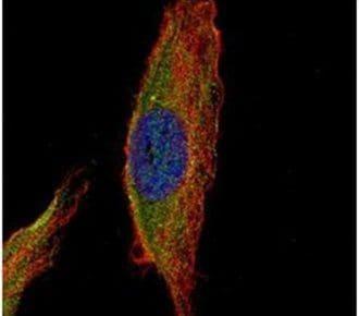 UNC13B Antibody in Immunocytochemistry (ICC/IF)