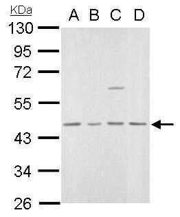 MVD Antibody in Western Blot (WB)