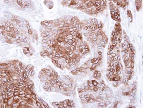 CNGA2 Antibody in Immunohistochemistry (Paraffin) (IHC (P))