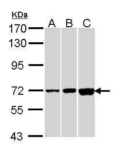 CNGA2 Antibody in Western Blot (WB)