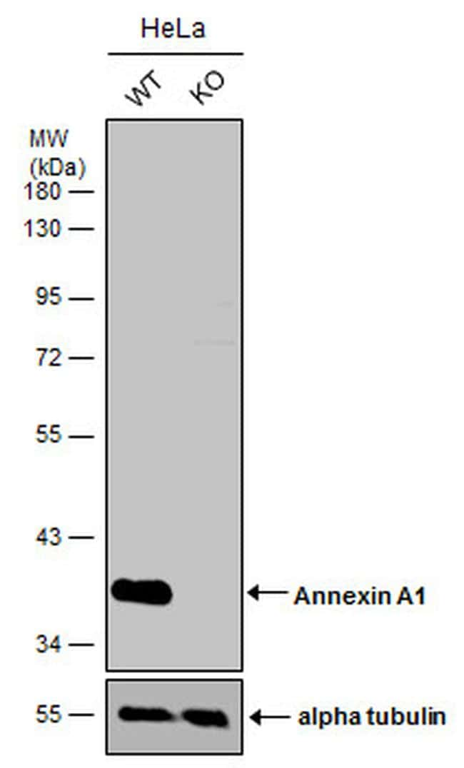 Annexin A1 Antibody in Knockout