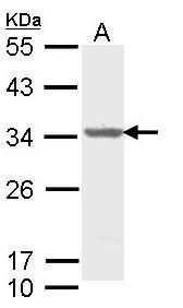 ALY Antibody in Western Blot (WB)