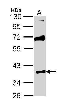 MST4 Antibody in Western Blot (WB)