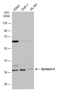 Syntaxin 4 Antibody in Western Blot (WB)