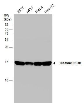 Histone H3.3 Antibody in Western Blot (WB)