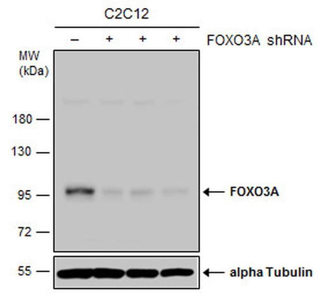 FOXO3A Antibody in Knockdown