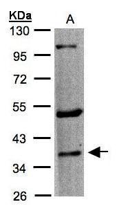 HTR1F Antibody in Western Blot (WB)