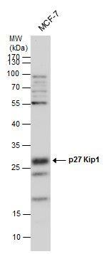 p27 Kip1 Antibody in Western Blot (WB)