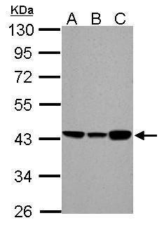 ACADM Antibody in Western Blot (WB)