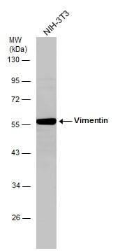 Vimentin Antibody in Western Blot (WB)