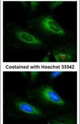 SOD1 Antibody in Immunofluorescence (IF)