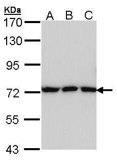 Transferrin Antibody in Western Blot (WB)