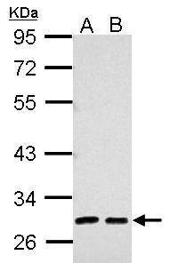 alpha-1 Microglobulin Antibody in Western Blot (WB)