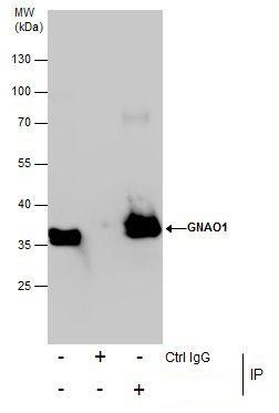 Annexin A1 Antibody in Immunoprecipitation (IP)