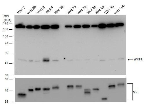 WNT4 Antibody in Western Blot (WB)