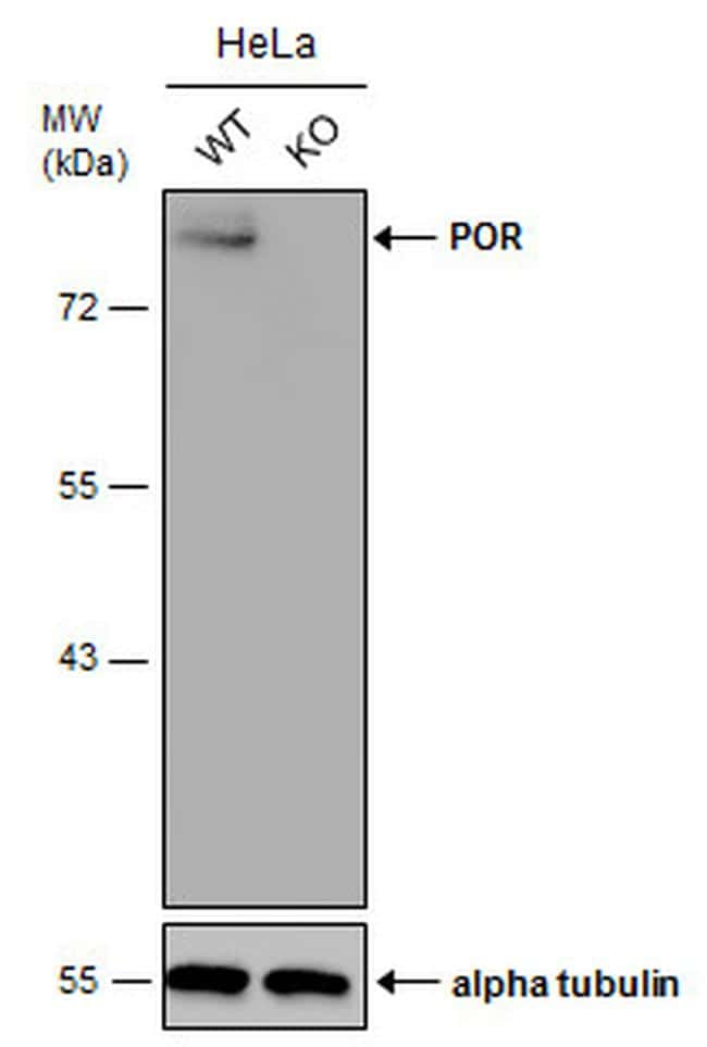 Cytochrome P450 Reductase Antibody in Knockout