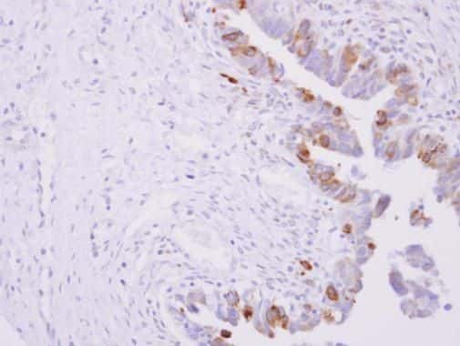 Cytochrome P450 Reductase Antibody in Immunohistochemistry (Paraffin) (IHC (P))