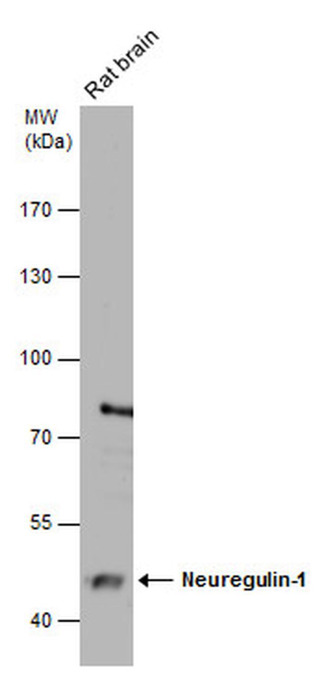 NRG1 Antibody in Western Blot (WB)