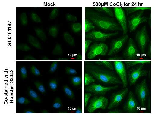 HMOX1 Antibody in Immunocytochemistry (ICC)