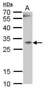 HMOX1 Antibody in Western Blot (WB)