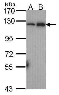 NFkB p52 Antibody in Western Blot (WB)
