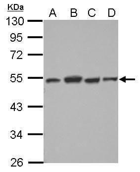 DTNBP1 Antibody in Western Blot (WB)