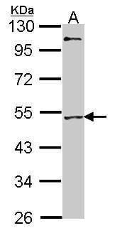 MEF2A Antibody in Western Blot (WB)