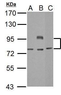 BCL6 Antibody in Western Blot (WB)